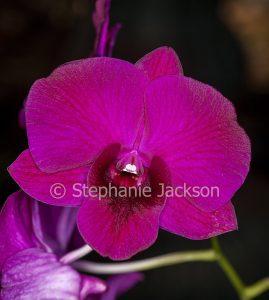 Red/ magenta flower of orchid Dendrobium Bernadette x Cheunsangon on dark background