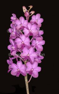 Pink flowers of orchid on black background.