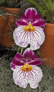 Red and white flowers of Miltoniopsis, Pansy Orchid.