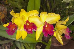 Red and yellow flowers of orchid, Rhynchosophrocattleya Alma Kee Tip Malee