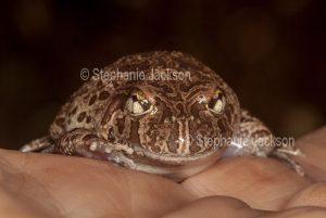 Ornate Burrowing Frog, Platyplectrum ornatum syn. Opistodon ornatum, on a person's hand, in Queensland Australia.