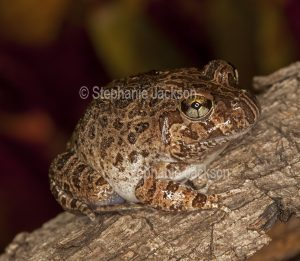 Ornate Burrowing Frog, Platyplectrum ornatum syn. Opistodon ornatum, in Queensland Australia.