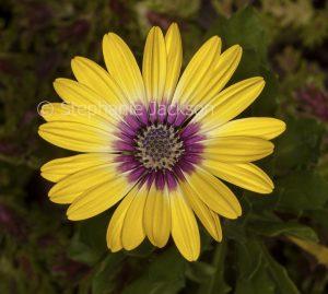 Yellow flower with purple centre of Osteospermum ecklonis 'Blue Eyed Beauty', Marguerite Daisy.