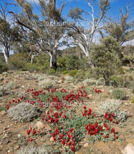 Australian outback landscape with Sturt's Desert Pea, Swainsona formosa, in the Gammon Ranges National Park in northern South Australia