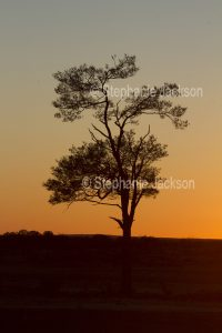 Sunrise with solitary tree silhouetted against orange sky near Eromanga in outback Queensland Australia.