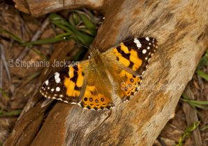 Painted lady butterfly, Vanessa kershawi, on log in Queensland Australia.