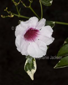 Pale pink flower of Pandorea jasminoides, Australian native climbing plant, Bower of Beauty / Bower Vine. with variegated leaves on black background
