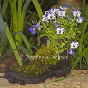 Mauve and white pansies, annuals, growing in old recycled boot with coating of moss