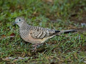 Peaceful Dove, Geopelia placida, on the lawn of a garden in Queensland Australia.