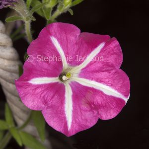 Pink and white striped flower of a petunia on a black background