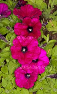 Cluster of bright red petunias on background of green foliage