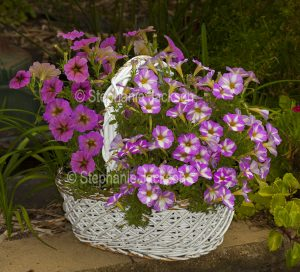 Pink and white petunias in a white wicker basket.