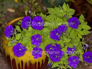Vivid purple flowers of petunia growing in a decorative container.