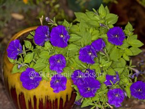 Container gardening, mass of petunias with purple flowers growing in a colourful yellow and brown pot