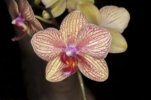 Pale yellow and red striped flower of Moth Orchid, Phalaenopsis cultivar on dark background