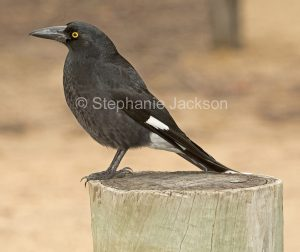 Pied Currawong, Strepera graculina, on a wooden stump in the Wollemi National Park in NSW Australia.