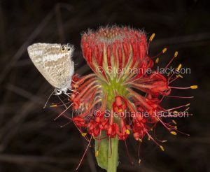 Red flower of Pimelea haemostachys, blood pimelea with butterfly, on dark background, in central Queensland Australia.