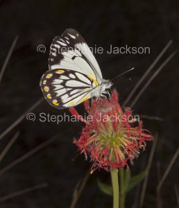 Butterfly on red wildflowers, Pimelea haemostachys, in central Queensland Australia