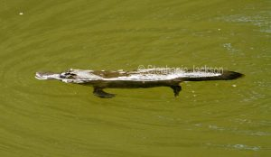 Platypus in the Broken River at Eungalla National Park in Queensland Australia