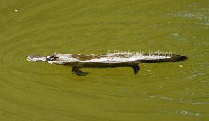Platypus in the Broken River at Eungalla National Park in Queensland Australia