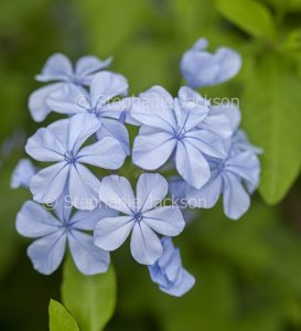 Blue flowers of Plumbago auriculata on green background of foliage