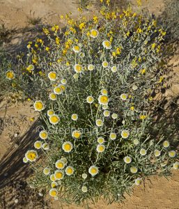 Cluster of flowers of Polycalymma stuartii, Poached Egg Daisies, in outback Australia