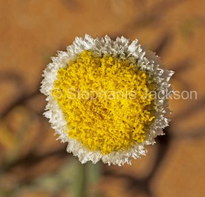 Flower of Polycalymma stuartii, Poached Egg Daisy, in outback Australia