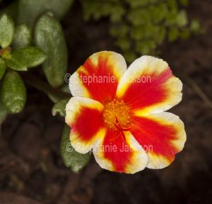 Red, yellow and white flower of Portulaca grandiflora, Moss Rose, annual plant on dark background