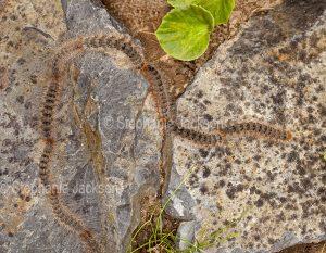 Processionary caterpillars, Ochrogaster lunifer syn. Teara contraria, larvae of bag-shelter moth, in Queensland Australia