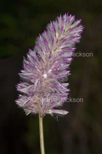 Australian wildflowers, Ptilotus exaltatus, mulla mulla, pussy tails, in outback Queensland Australia, on dark background