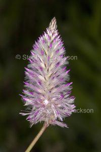 Australian wildflower, Ptilotus exaltatus, Mulla Mulla / Pussy Tails, in outback Queensland Australia.