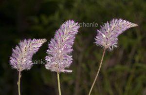 Australian wildflowers, Ptilotus exaltatus, Mulla Mulla / Pussy Tails, in outback Queensland Australia.