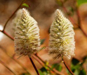 Australian wildflowers, Ptilotus macrocephalus, Green Pussytails / Mulla Mulla in outback Queensland Australia.