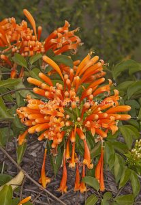 Orange flowers of Pyrostegia venusta , Golden Trumpet Vine.