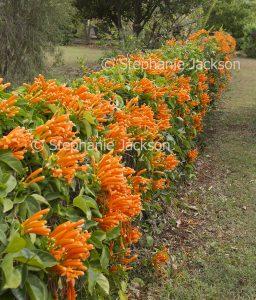 Orange flowers of Pyrostegia venusta , Golden Trumpet Vine growing on a fence.