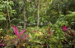 Sub-tropical rainforest garden with cordylines, ferns and trees in Queensland Australia