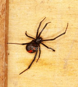 Redback spider, Latrodectus hasselti. inside a wooden packing crate. This species, with only the male displaying a red patch, is venomous.