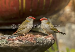 Red-browed Finches, Neochmia temporalis, at a bird bath in a garden in Queensland Australia.