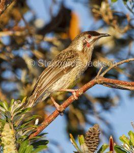Australian birds, red wattlebird, a honeyeater, Anthochaera carunculata, in NSW Australia