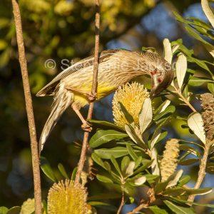 Australian birds, red wattlebird, a honeyeater, Anthochaera carunculata, feeding on Banksia flower in NSW Australia