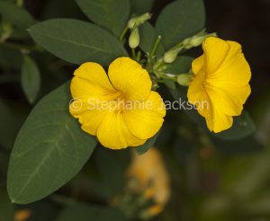 Yellow flowers of Reinwardtia indica, shrub, Golden Dollar Bush with raindrops on petals.