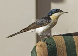 Restless Flycatcher, Myiagra inquieta, on a camper's chair in the Diamantina National Park in outback Queensland Australia.