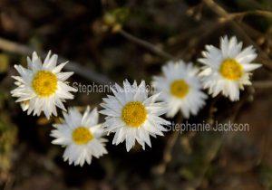 White flowers of Rhodanthe floribunda syn Helipterum floribunda, paper / everlasting daisies