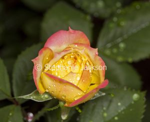 Pink and yellow miniature rose 'Chameleon' with raindrops on petals, on background of green leaves