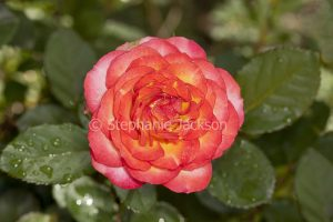 Red and yellow flower of Parade rose