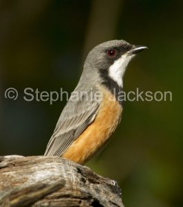 Rufous Whistler, Pachycephala rufiventris, on a weathered log in Queensland Australia.