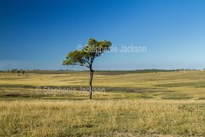 Rural landscape with dry grasses and solitary gum tree on rolling hills during drought in south-eastern Queensland Australia.