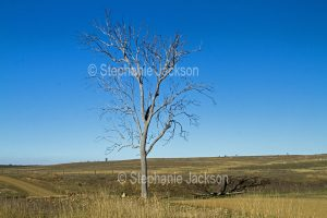 Rural landscape during drought with brown and barren ground and solitary dead tree near Gayndah in Queensland Australia.