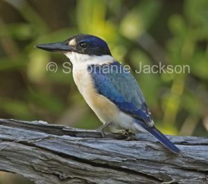 Sacred Kingfisher, Todiramphus sanctus, on a weathered log in a garden in Queensland Australia.