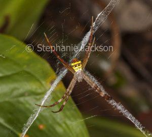 Saint Andrew's cross spider in its web in a garden in Queensland Australia.